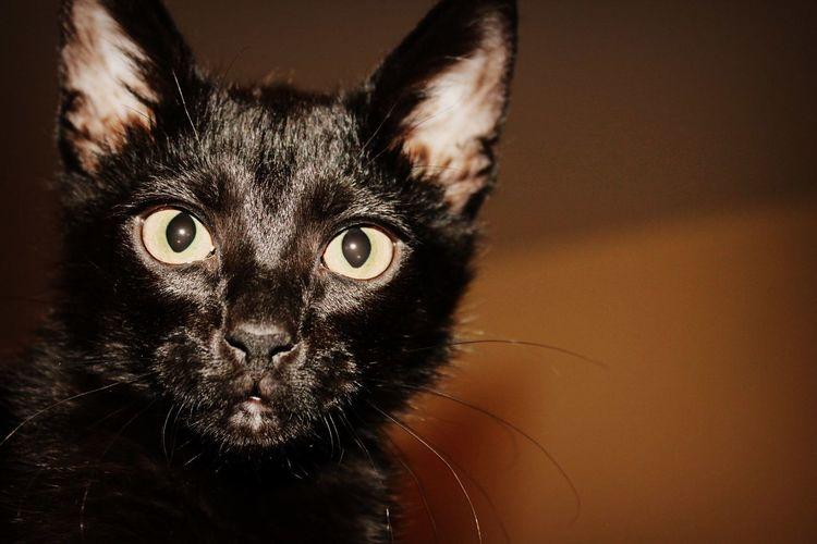 Cat Lovely Kitten Black Cat