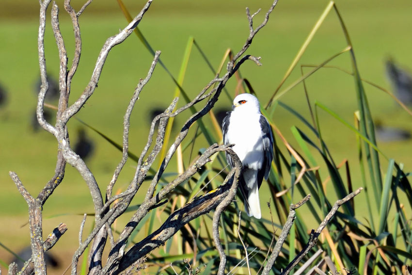 White-tailed Kite 2 San Leandro Marina Golf Course White-tailed Kite Elanus Leucurus Small Raptors Pale Birds Of Prey Predators Hawks Birdwatching Birds🐦⛅ Bird Photography Birds_collection Perched Roosting Native To Western North America Parts Of South America Habitant Tidal Wetlands Marsh Open Woodlands Grasslands Landscape Brush Grass Reeds Coots Orinthology Primary Diet: Rodents Bare Schrubs