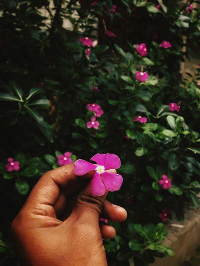 Flowers Flowers Flowering Plant Flower Head Nature Beautiful Bangladeshiphotographer Mobilephotography EyeEmNewHere EyeEm Best Shots EyeEm Selects Chittagong Beautiful Nature Dhaka, Bangladesh Flower Collection Human Hand Flower Christmas Holding Tree Pink Color Close-up