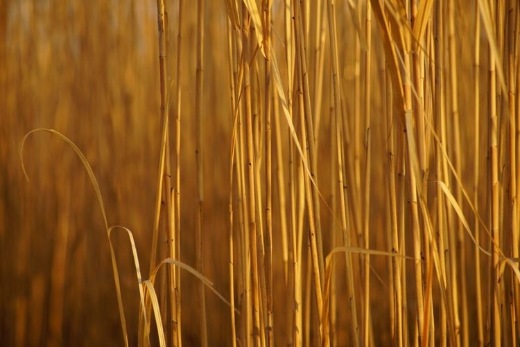 Growth Nature Cereal Plant Close-up Agriculture No People Plant Outdoors Beauty In Nature Wheat Day
