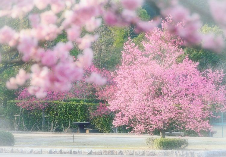 心に優しい時間を… Spring 春 Springtime ツバキカンザクラ 桜🌸 サクラ My Point Of View Flower Collection Nature Pink Flower EyeEm Nature Lover EyeEm Gallery 好きな場所 Blossom EyeEm Best Shots - Nature Flower Taking Photos EyeEm Best Shots