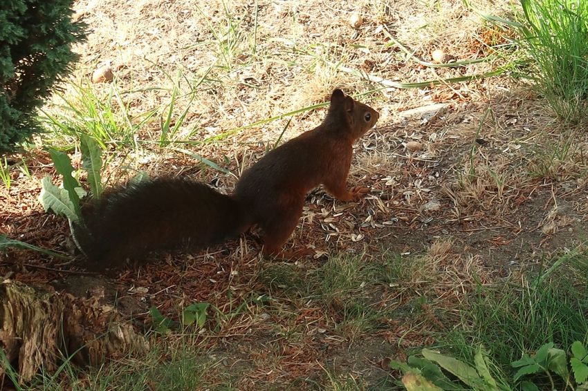 Squirrel Eichhörnchen Mammal Animal Themes Animal Vertebrate One Animal Sunlight Nature Pets High Angle View Canine Day Domestic Animals Domestic Grass Dog Field No People Land Outdoors Feline