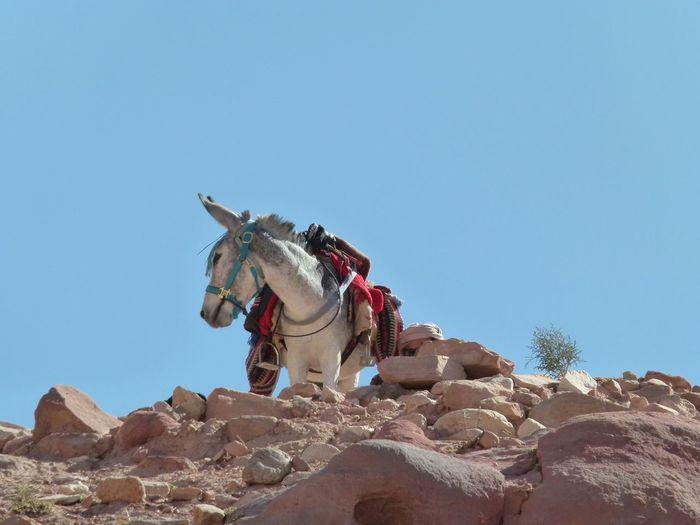 Bedouin donkey
