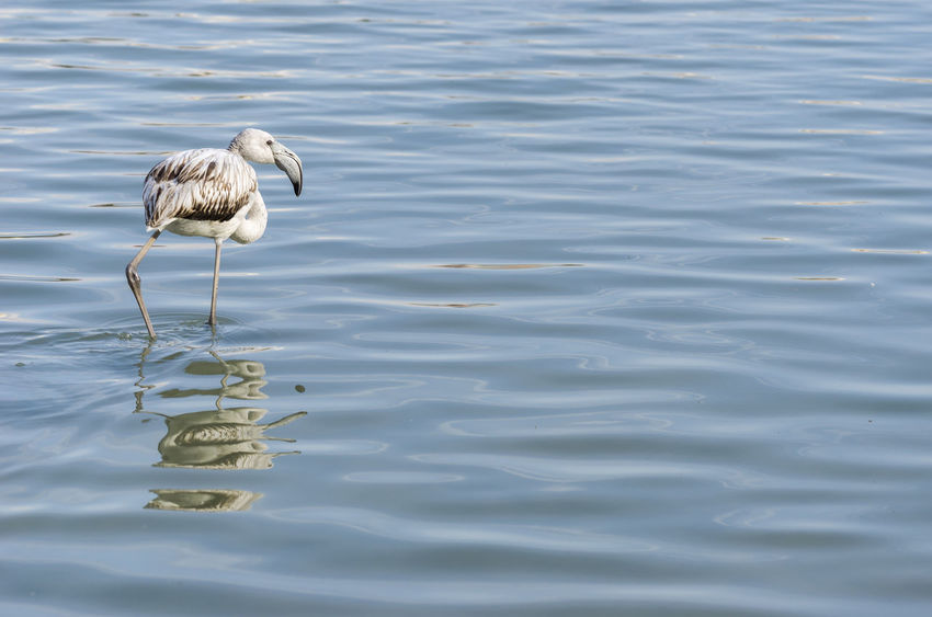 Flamigo in Calp, Spain. Animal Animal Themes Animals In The Wild Bird Calpe Eating Flamingo Mediterranean  Nature No People Ocean One Animal Phoenicopterus Sea Water Wild