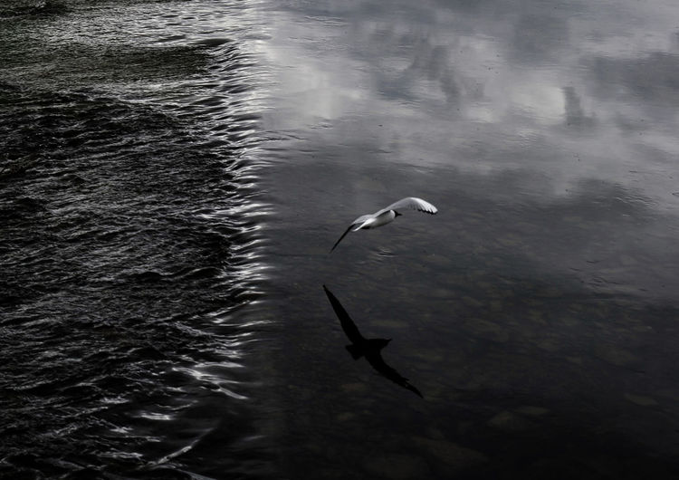 Bird Black And White Nature Reflections In The Water River Seagull Sky And Clouds Water Breaking Over Salmon Ladder