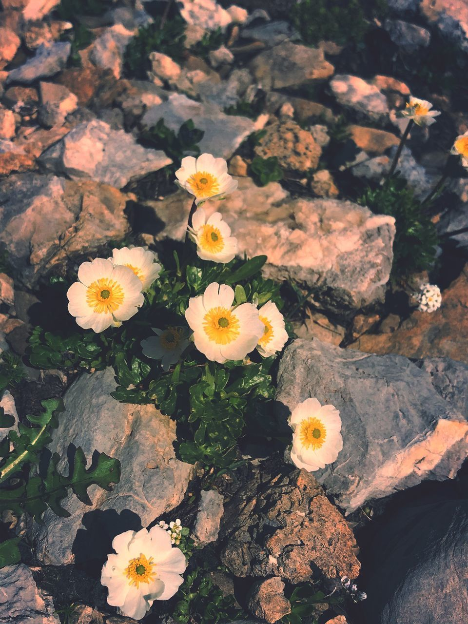 flowering plant, flower, vulnerability, plant, freshness, beauty in nature, fragility, nature, petal, close-up, flower head, growth, no people, inflorescence, high angle view, day, outdoors, yellow, rock, field, pollen