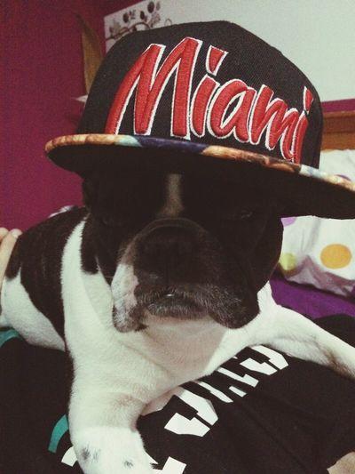 Domestic Animals My French Bulldog <3 ❤️