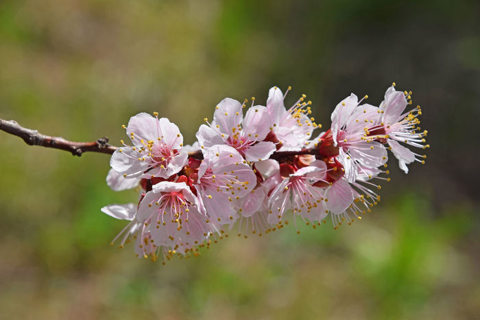 Sping time brigs us beautiful apricot tree blossom Apricot Apricot Tree Blooming Blossom Cherry Cherry Blossoms Cherry Tree Close-up Flower Flower Head Fragility Freshness Growth In Bloom Nature Petal Spring Springtime Twig
