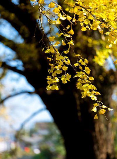 古 Branch Tree