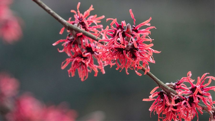 Catkins Hazel February 2019 Nature Backgrounds Macro Nature Flora Plant Growth Flowering Plant Flower Close-up Red Beauty In Nature Fragility Freshness Focus On Foreground Blossom Inflorescence Branch Flower Head Outdoors Tree Vulnerability  Nature Petal No People