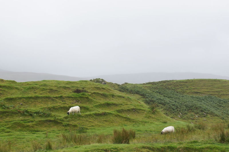 Quiet countryside in Scotland Grass Plant Field Animal Themes Copy Space Sky Animal Landscape No People Land Nature Beauty In Nature Day Environment Green Color Group Of Animals Tranquil Scene Livestock Tranquility Outdoors Scotland