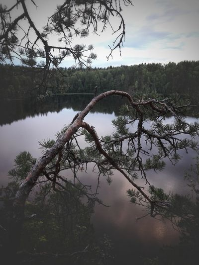 Forest Forest Photography Needles Branches Plant No People Day Outdoor Photography Outdoor Nature Tree Water Lake Sky Plant Life