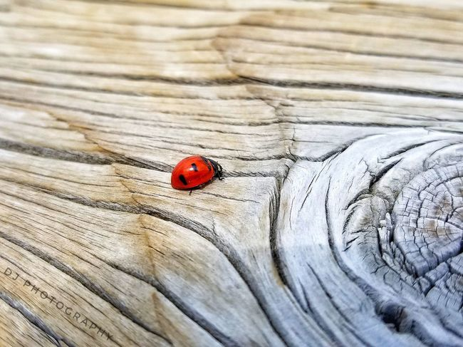 EyeEmNewHere Insect Animals In The Wild Red Animal Themes One Animal Close-up No People Animal Wildlife Day Outdoors Nature Ladybug Nature_collection Landscape_collection EyeEmNatureLover Samsungphotography Photographer Scenics Pictureoftheday Photo Of The Day Beauty In Nature Insect Photography