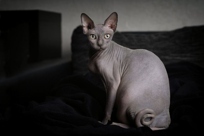 Portrait of a sphynx cat. Copy Space Horizontal Animal Themes Close-up Completely Bald Domestic Animals Domestic Cat Feline Fokus On Foreground Greeneyedcat Hairless Cat Home Interior Indoors  Looking At Camera Mammal No Hair No Care No People One Animal Pentax Pets Portrait Purebred Sitting Sphynx Sphynx Lover EyeEmNewHere
