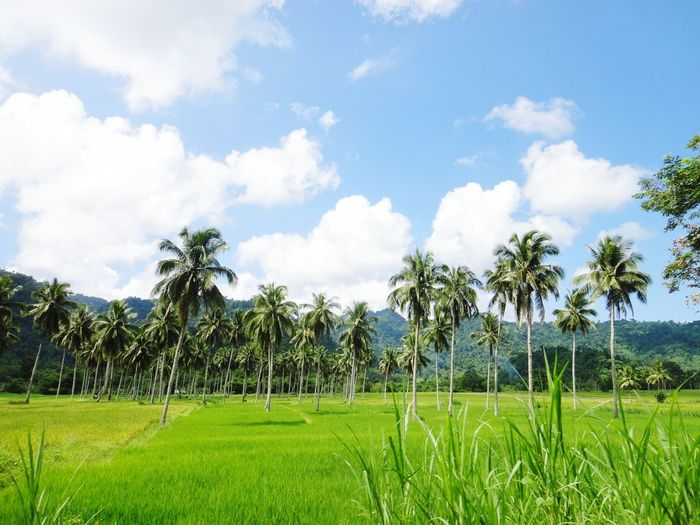 wow Tree Palm Tree Blue Agriculture Sky Grass Cloud - Sky Green Color Coconut Palm Tree Rice Paddy Tropical Tree Asian Style Conical Hat Plantation Grass Area Countryside Rice - Cereal Plant Terraced Field Coconut Cultivated Land Tropical Climate Palm Leaf