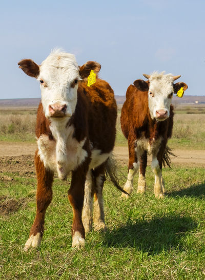 Cow Livestock Mammal Domestic Animal Domestic Animals Animal Themes Pets Cattle Grass Group Of Animals Land Field Plant Vertebrate Nature No People Livestock Tag Portrait Landscape Herbivorous Outdoors