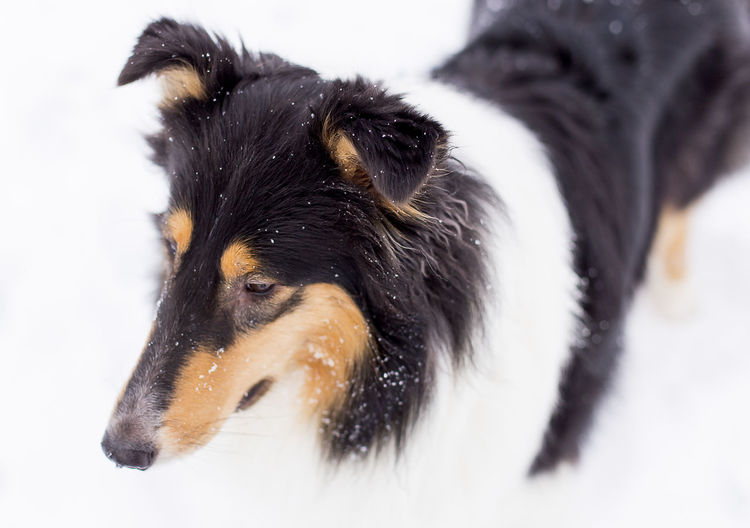 Close-Up Of A Dog In Snow