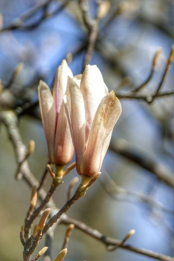 Close-up of fresh white flower buds on twig