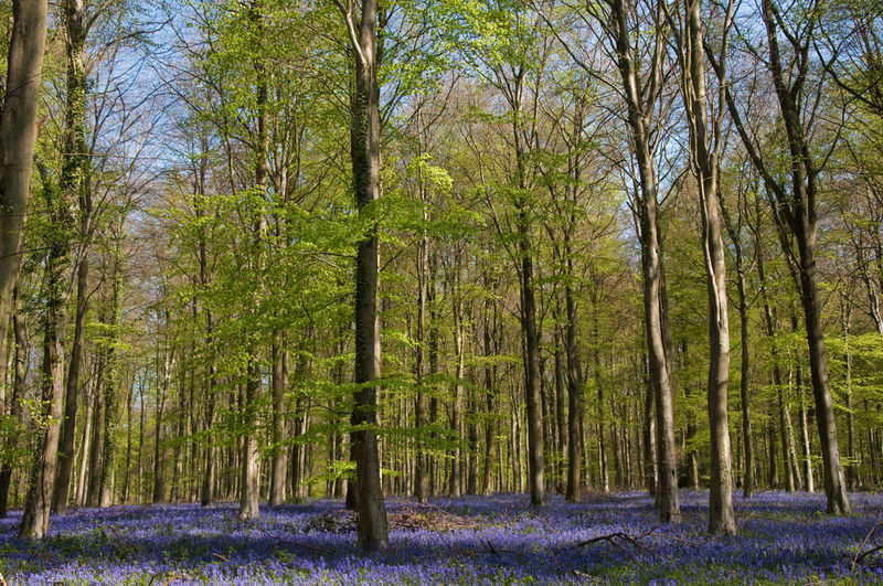Angmering Bluebell Bluebells Branches Branches And Sky Colours EyeEm Nature Lover EyeEmBestPics Forrest Grass Green Growth Landscape Purple Spring Tree Trunk Trees Wood WoodLand Woods