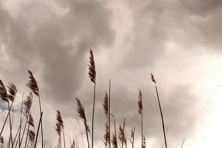 Low angle view of stalks against sky
