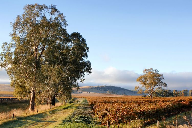Autumn morning sunshine across the hills and vineyards in the Barossa Valley South Australia Australian Landscape Autumn Barossa Valley Fall Colors Travel Photography Agriculture Beauty In Nature Day Field Growth Landscape Nature No People Outdoors Rural Scene Scenics Sky Tourist Destination Tranquil Scene Tranquility Travel Destinations Tree Vineyard