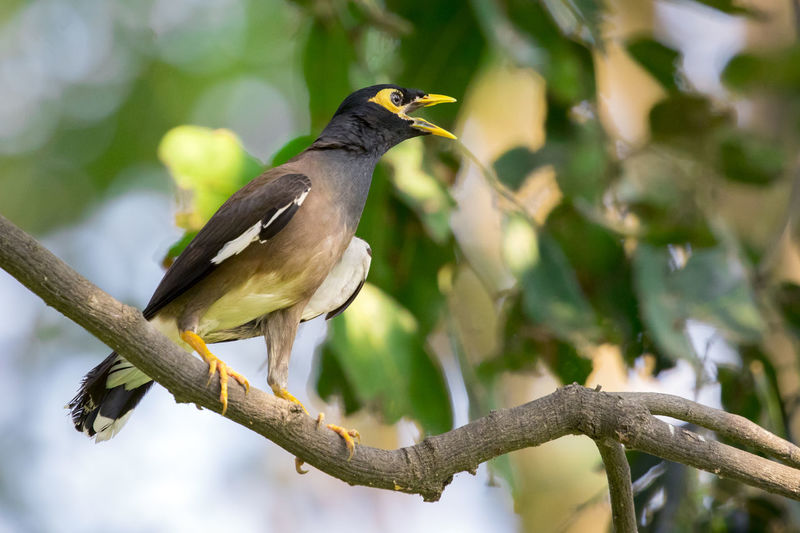Image of common mynah bird on the branch on nature background. Wild Animals. Common Mynah Animal Themes Animal Wildlife Animals In The Wild Beauty In Nature Bird Branch Close-up Day Focus On Foreground Green Color Nature No People One Animal Outdoors Perching Tree