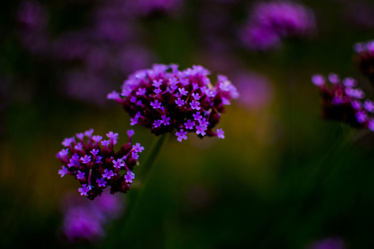 Flower Flowering Plant Beauty In Nature Freshness Plant Vulnerability  Fragility Close-up Purple Growth Focus On Foreground Selective Focus Nature No People Day Petal Inflorescence Flower Head Outdoors Field Lilac