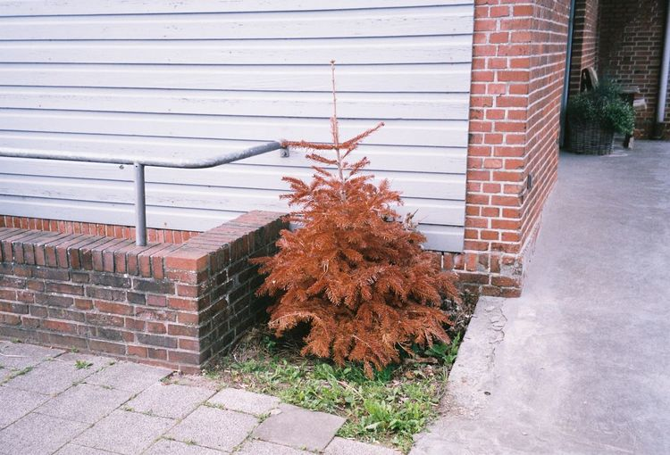 After Christmas #Christmas #ChristmasTree #EyeEmNewHere #Filmcamera #Sylt #after #afterchristmas #brick #christmastime #corners #dead  #death #filmisnotdead #filmphotograph #filmphotography #germany #hanscheko #ishootfilm #lostplaces #nopeople #outdoors #photographer #photography #red #tree EyeEmNewHere
