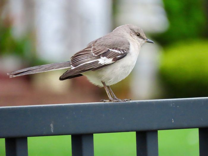 Birdwatching birds of EyeEm northern mockingbird perched on a fence close up outdoors focus on the foreground beauty in nature Animal Themes Bird One Animal