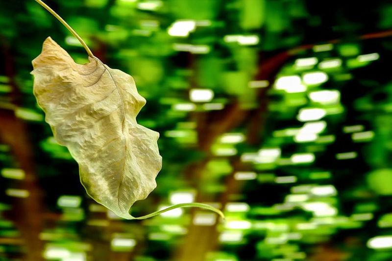 Close-up of rose leaf hanging on plant