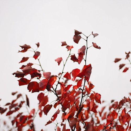 Izkiz Natgeo Myriagon Vscocam Red Autumn Leaf Vscooz @vscogoodshot Instasyon @instasyon