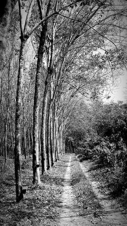 Rubber Plantation Trees Islandlife Naturelovers EyeEm Nature Lover Phuket,Thailand