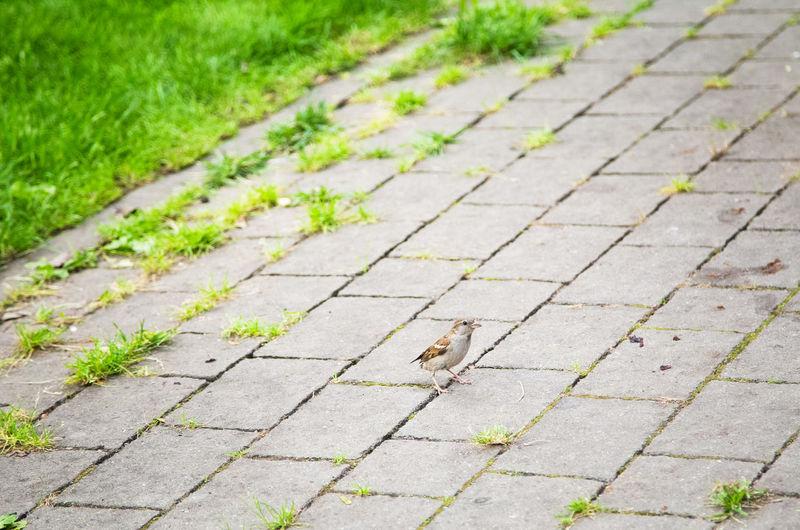 Cure sparrow on