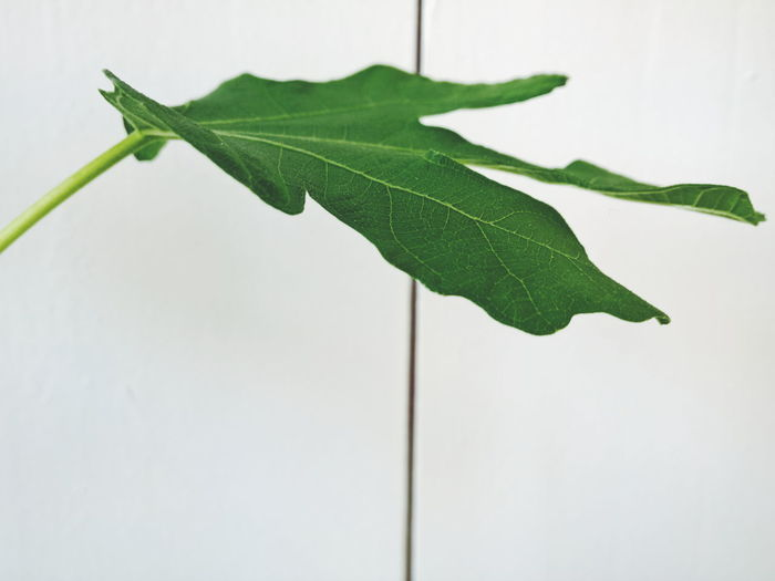 Fig leaf against white wooden wall Beginnings Close-up Composition Drop Flag Fragility Green Green Color Growing Growth Leaf Leaf Vein Natural Pattern Nature Negative Space New Life No People Plant Pole Ripe Stem Twig Fig Fig Tree Leafs
