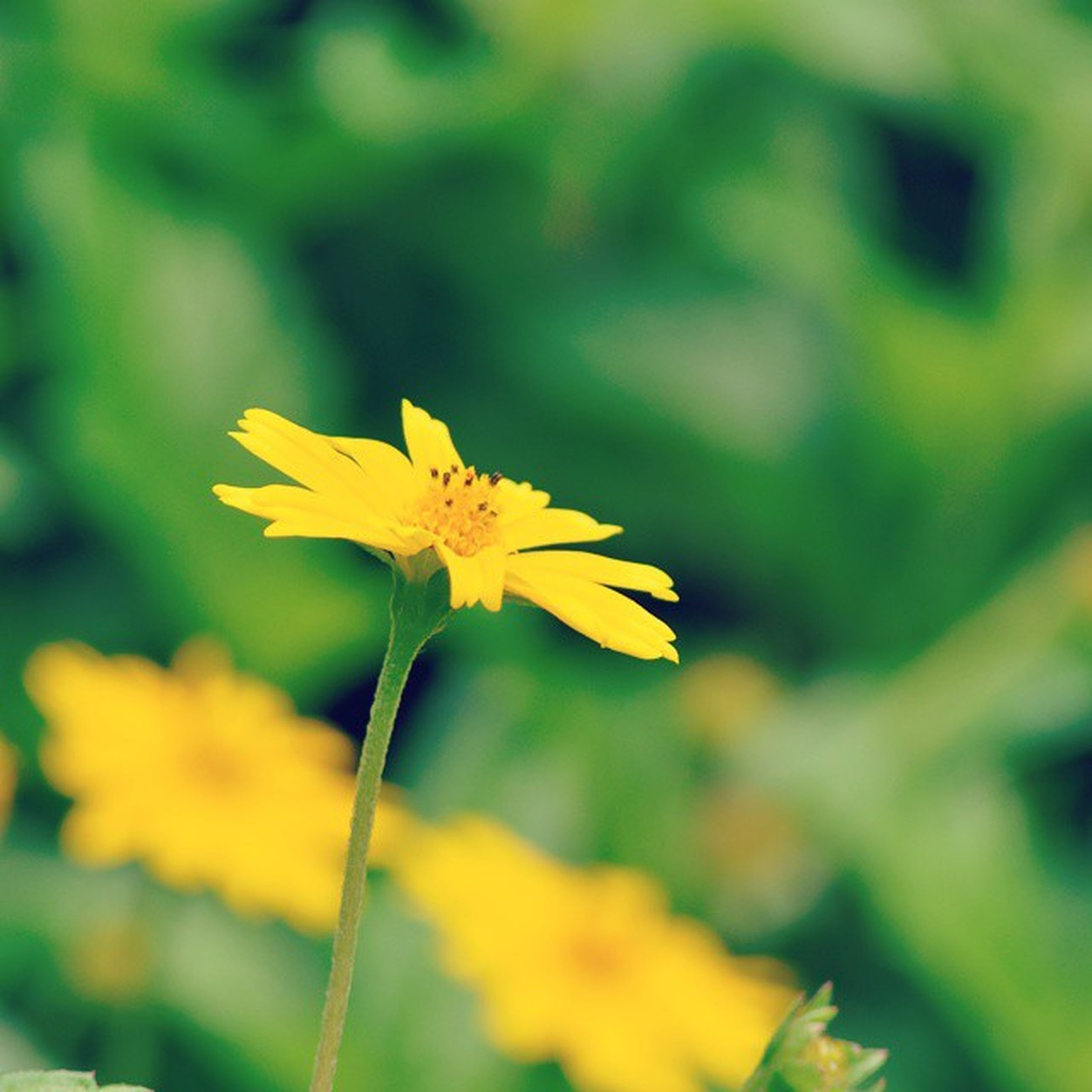 flower, petal, yellow, fragility, freshness, flower head, growth, focus on foreground, beauty in nature, close-up, blooming, nature, plant, stem, single flower, in bloom, blossom, selective focus, field, pollen
