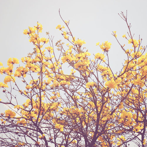 Plant Beauty In Nature Growth Sky Low Angle View Tree Flower Flowering Plant Yellow No People Nature Branch Clear Sky Day Fragility Freshness Tranquility Vulnerability  Blossom Springtime Outdoors Change Cherry Blossom Spring Spring Flowers Flower Collection