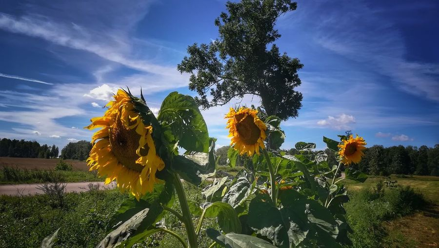 Beauty In Nature Nature Smartphonephotography Smartphone Photography Tree Poland Poland Is Beautiful Green Color Blue Power In Nature Idyllic Ecology Sunflower In Bloom Plant Life Fragility Petal Single Flower Agricultural Field Stamen Cultivated Land Botany Farmland Blossom Blooming Sepal Pollen Apple Blossom