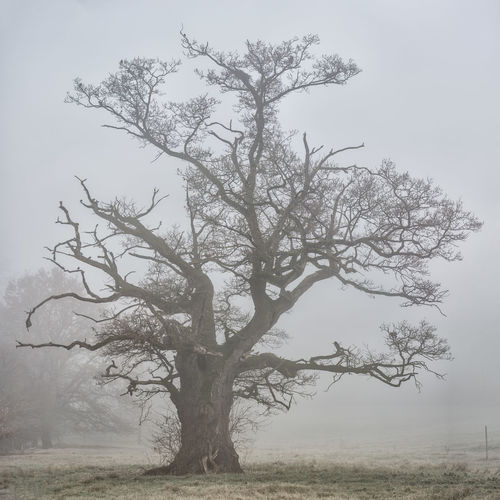 Alte Eiche Baum December Eiche Einsamer Baum Focus On Foreground Fog Lonely Tree Misty Misty Morning Nebel Oak Old Oak Tree Old Tree Soft Square Tree Tree In Fog Winter