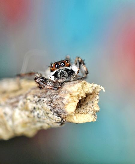 Jumping spider looking at the camera Animals In The Wild Animal Themes One Animal Insect Animal Wildlife Spider Close-up Jumping Spider The Week On EyeEm Macro Photography Beauty In Nature Macro_collection Macro Beauty EyeEm Best Shots Arachnid Arachnid Photography Spider No People Outdoors Nature