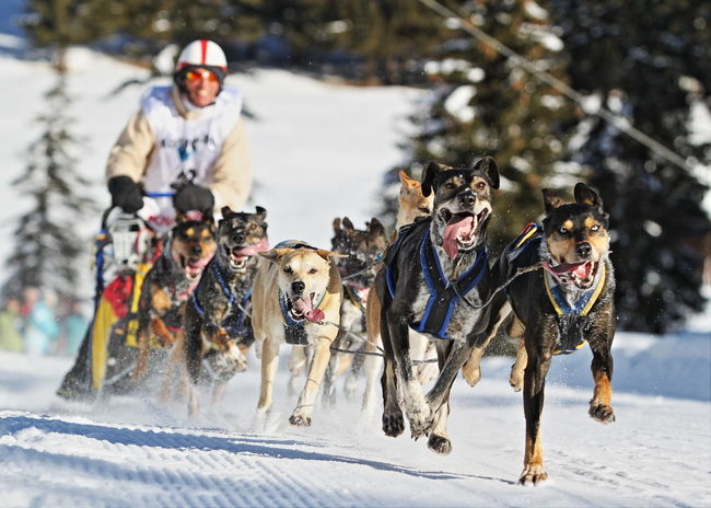 Adventure Animal Themes Cold Temperature Dog Outdoors Sled Dog Snow Snow Sports Winter Working Dog Sleddog Alps Shades Of Winter