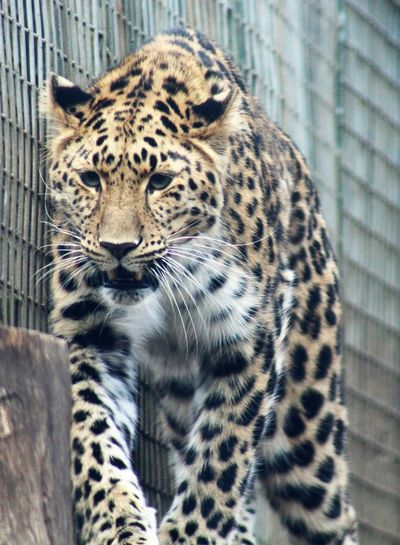 the leopard and