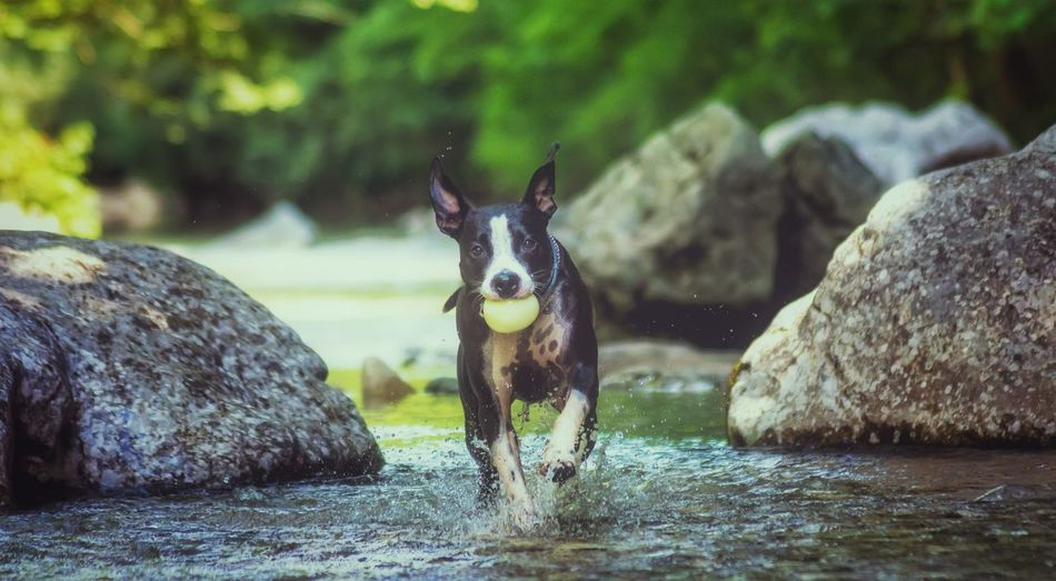 Portrait of dog running in water by rocks