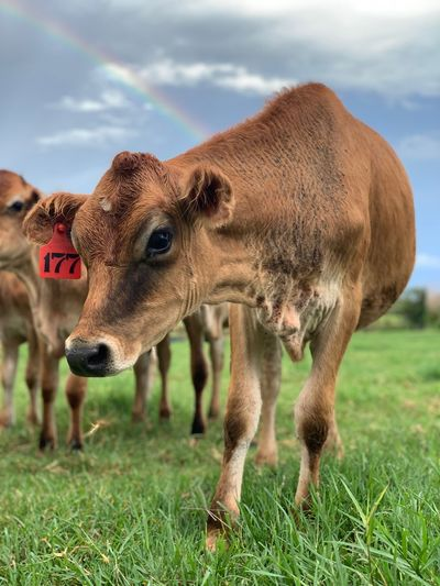 Cow Farmland Farm Ranch Cattle EyeEm Selects Animal Themes Mammal Animal Grass Domestic Animals Field Land One Animal Nature Plant Vertebrate No People Sky Livestock Day Cloud - Sky Focus On Foreground Cow Herbivorous Pets