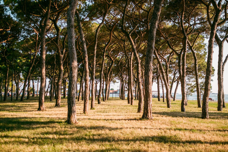 Venice Tree Plant Land Nature No People Trunk Landscape Tree Trunk Tranquility Growth Forest Beauty In Nature Day Scenics - Nature Grass Environment Outdoors Non-urban Scene WoodLand Field Treelined