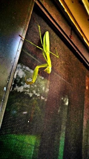 Praying Mantis Prayers For All Outside My Backdoor Green Close-up Fragility Insect Illinois Summer Signs Normal, Il