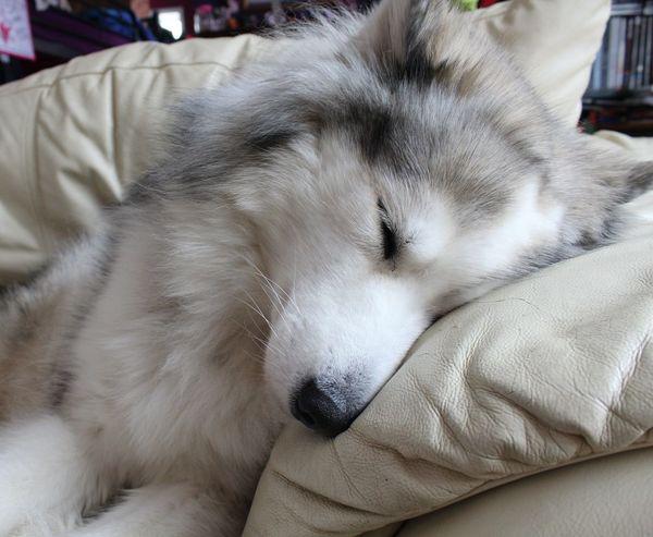 Sila Alaskan Malamute Dogs
