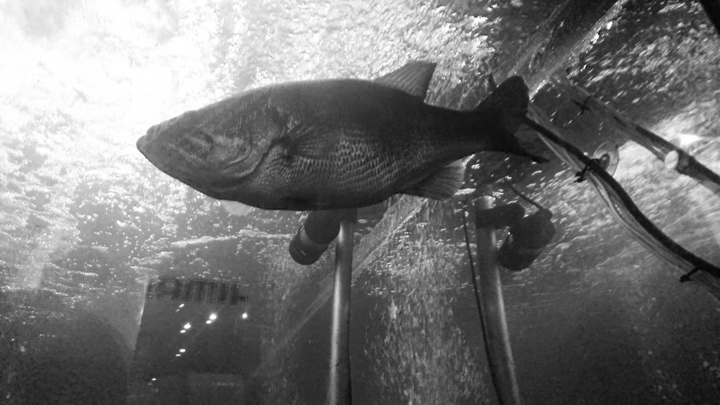 Japan Fishing Show 2016 ブラックバス Blackbass Black Bass Swimming FishFish Tank Black And White Monochrome Reflection Blackandwhite Photography Light And Shadow Hello World Enjoying Life パシフィコ横浜