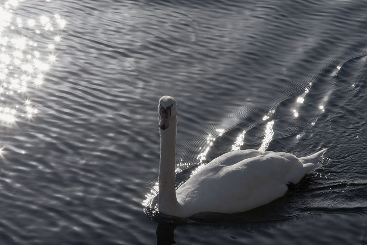 Beauty In Nature Close-up Day Focus On Foreground Lake Nature No People Outdoors Reflaction Silver Swan Tranquility Water White Elegance In Nature Elegance And Class
