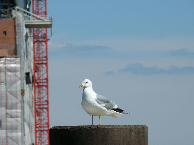 Architecture Building Crane Construction Site Elbe River Hamburg Philharmonie Plastic Sheet Scaffold Seagull Sky
