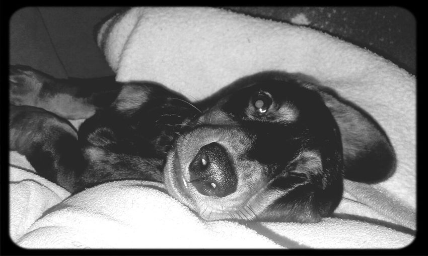Eros I Love My Dog Dachshund Dog Cute Pets